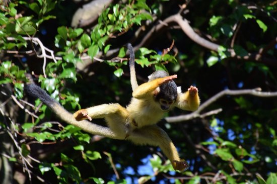 Auckland Zoo: Jumping Squirrel Monkey