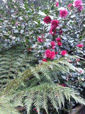 Belle Le Vie: camelias in garden