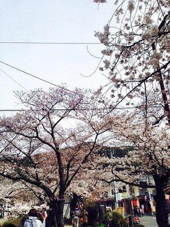 Philosopher's Walk: sakura season