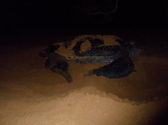Playa Bluff Lodge : leahterback schildpadden leggen eieren op het strand voor de lodge