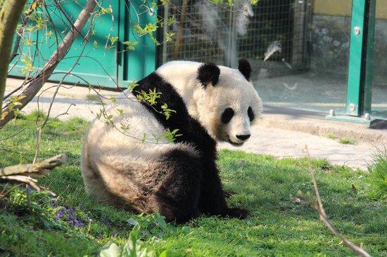 Tiergarten Schoenbrunn - Zoo Vienna : Панда