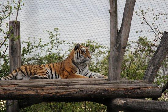 Tiergarten Schoenbrunn - Zoo Vienna : Тигра