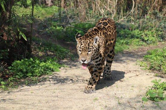 Tiergarten Schoenbrunn - Zoo Vienna : Ягуар