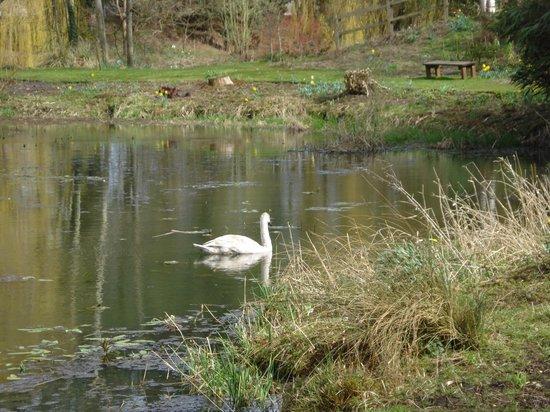Gooderstone Water Gardens & Nature Trails: Swan at Gooderstone Water Gardens. Copyright William Alderson