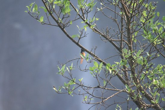 Hotel Mayura Gerusoppa Jogfalls: Asain Paradise fly catcher