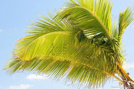 Vista Sol Punta Cana : Пальма на пляже (вид с топчана вверх)