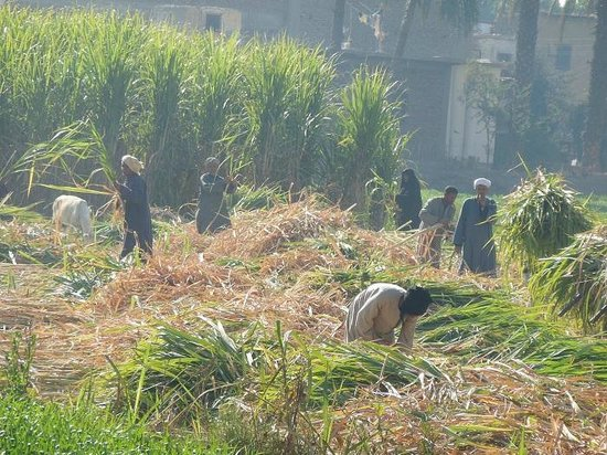 Cleopatra Hotel Luxor: Farmers collecting sugar cane