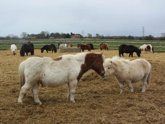Bransby Horses: Bransby ponies