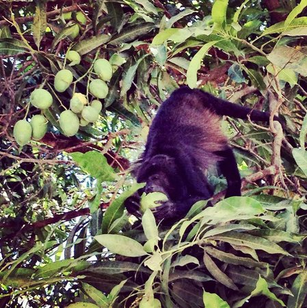 Best Western Tamarindo Vista Villas: Howler Monkeys right by the front desk!!
