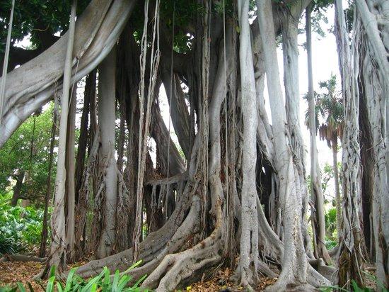 Jardín Botánico: Это все одно дерево