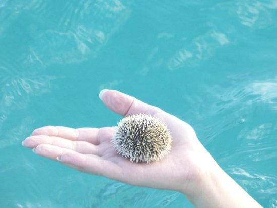 Paradise Scuba and Snorkeling Center: Sea urchin - neat to hold!