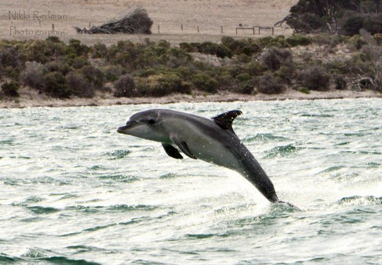Kangaroo Island Marine Adventures: dolphins having fun
