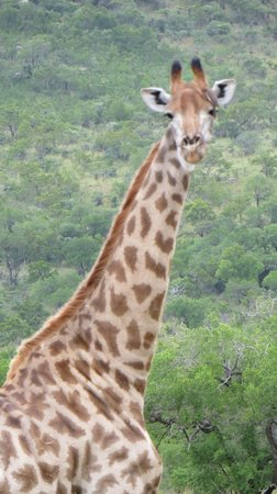Heritage Day Tours & Safaris: Saw these majestic giraffes!