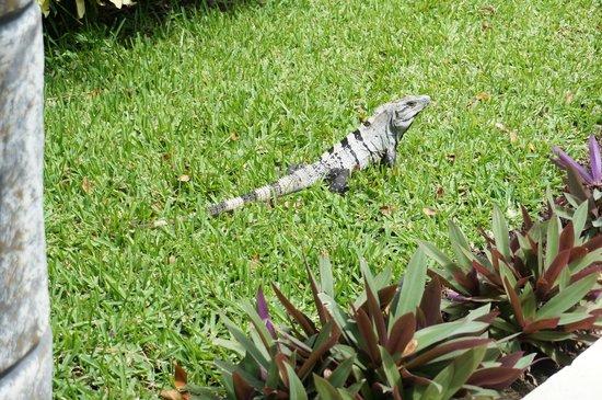 El Dorado Sensimar Riviera Maya: Iguana