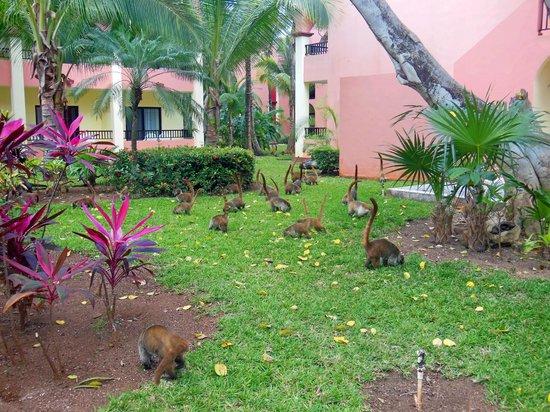 Hotel Riu Tequila : Coatis