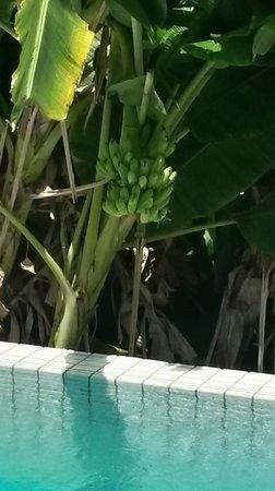 Centara Villas Samui: bananas by our pool