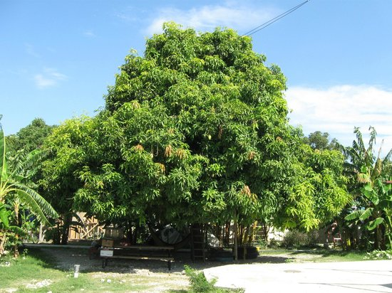 Haiti Communitere : The beautiful mango tree