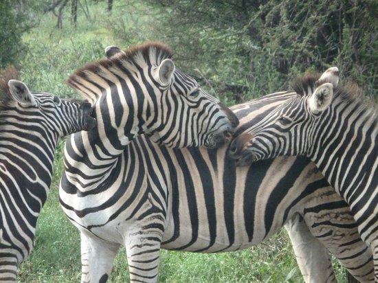 Thakadu River Camp: Zebra