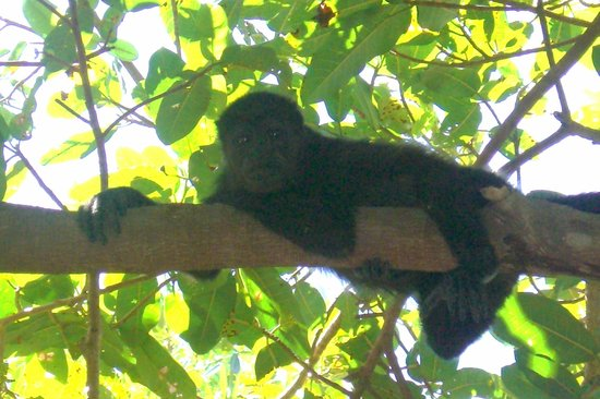 Best Western Tamarindo Vista Villas: Local Howler Monkeys on property