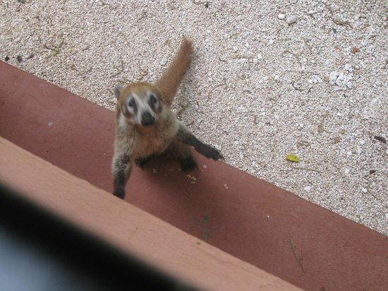 Hotel Riu Tequila: Coati, hotel wildlife