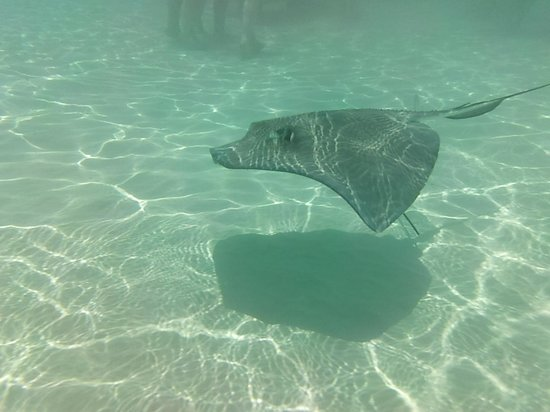 Fat Fish Adventures: Sting ray