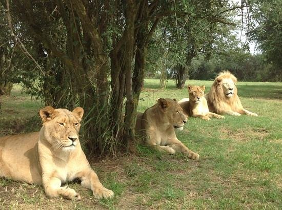 Lion and Safari Park: ready to pose