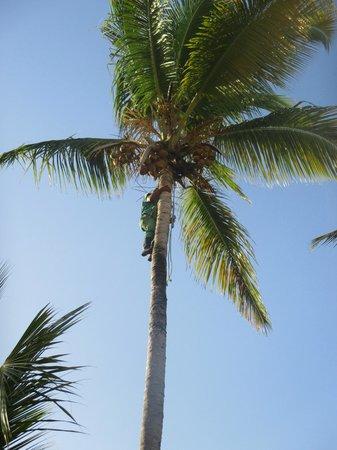 Sirenis Punta Cana Resort Casino & Aquagames: cocotier