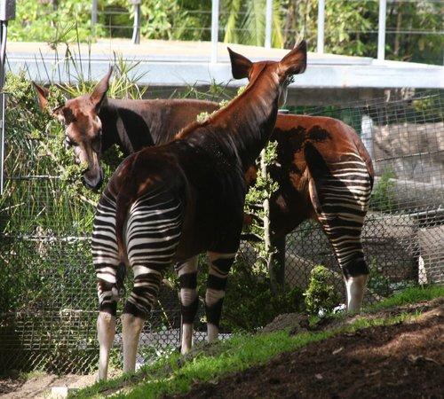 San Diego Zoo: Oakpi