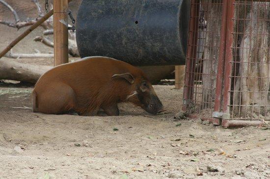 San Diego Zoo: Warthog