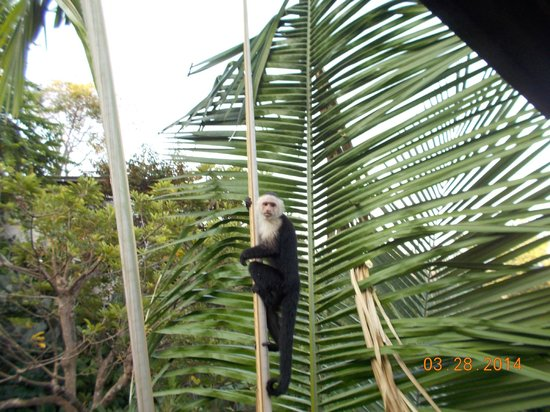 Tulemar Resort: White faced monkey next to our balcony