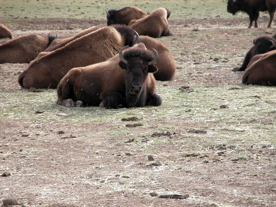 Zion Mountain Ranch: the Herd