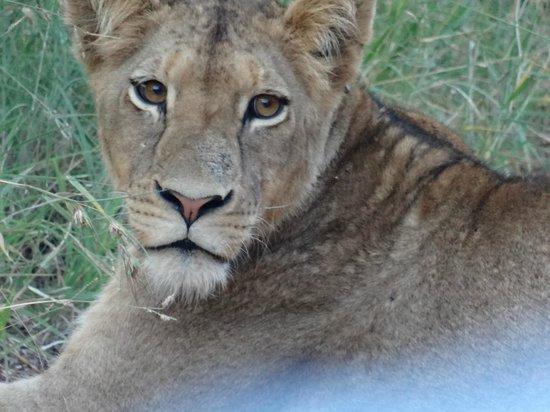Kapama River Lodge: leoa