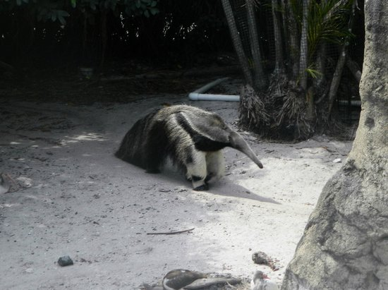 Palm Beach Zoo & Conservation Society : The anteater paces a lot