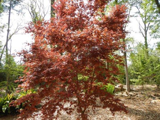 Mercer Arboretum & Botanic Gardens : Japanese maple