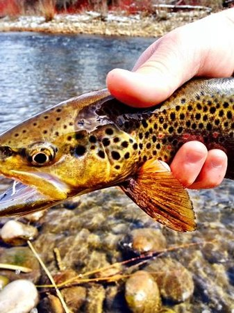 Utah Pro Fly Fishing Tours: brown trout