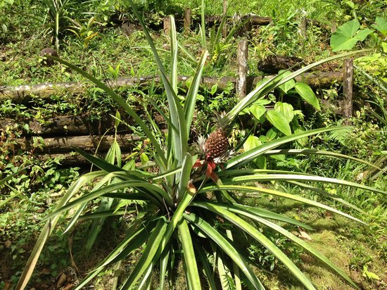Roots Jungle Retreat: Pineapple!