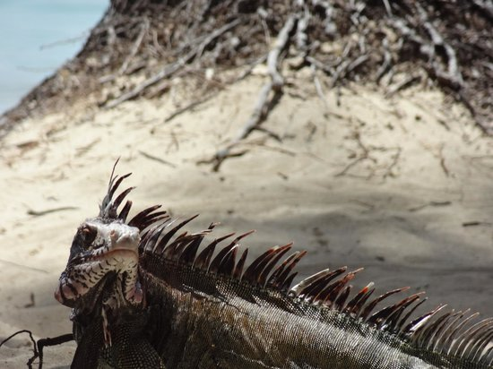 Secret Harbour Beach Resort : a scary looking but quite friendly Iguana named Iggy