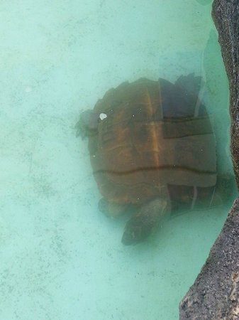 Aston Tanjung Pinang Hotel and Conference Center : Save this TURTLE from animal abuse -carvings, pool too deep