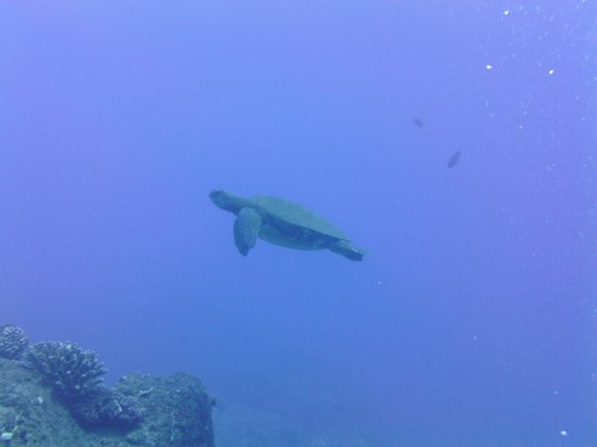 Fathom Five Divers: Multiple turtles at Sheraton site