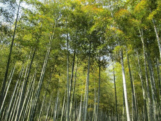Anji County, China: Bamboo forest.
