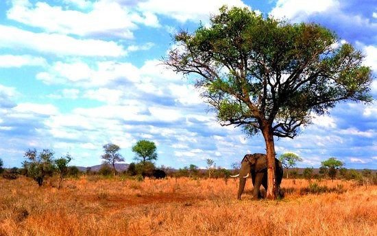 African Safari Guru : African Bull Elephant taking the chance to relax up against this tree and under shade