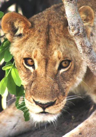 African Safari Guru Tours & Lodge Transfers : Those eyes mean business