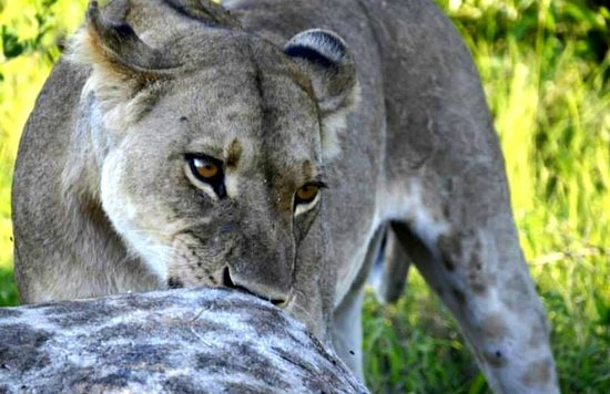 African Safari Guru : Pride of Lions feasting on a mother gifaffe