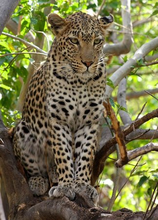 African Safari Guru : The elusive Leopard who had us tracking for 1 hour, Mababe, Botswana