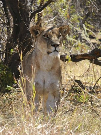 Lioness got her eyes fixed onto prey in Khwai, Botswnana