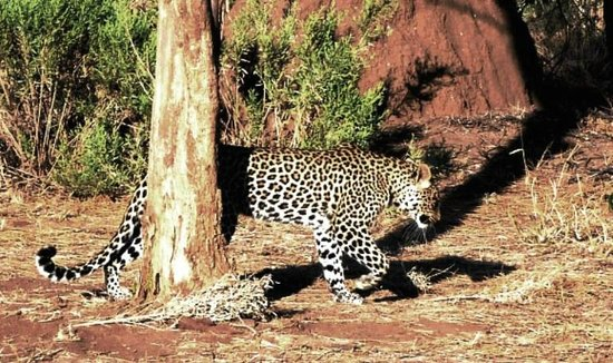 African Safari Guru : Female Leopard on the go, Botswana