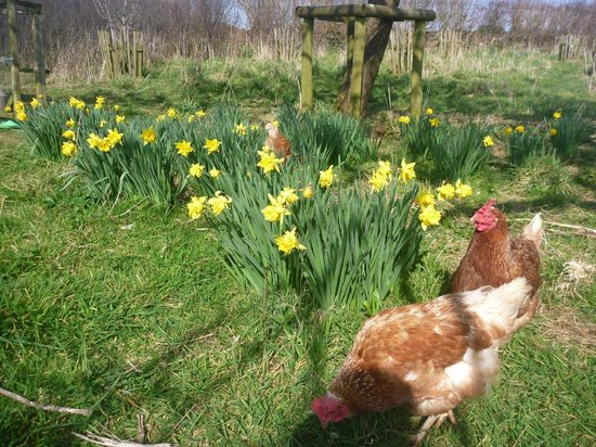 Beera Farmhouse: hens and daffodils