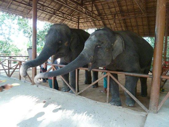 Siam Safari: Small elephants