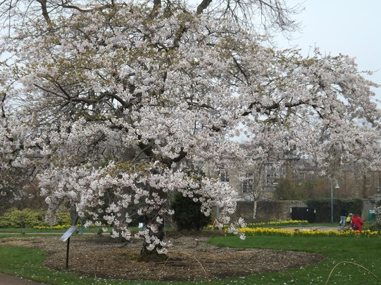 Royal Botanic Garden Edinburgh: Cherry