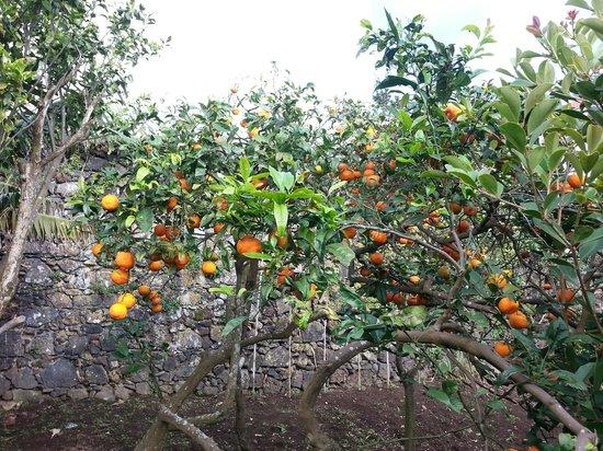 Casa Vitoriana: Lemon tree in the garden